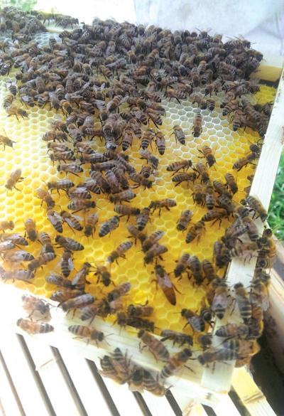 5Ws+1H: How It's Done: Making bee habitats in gardens, trees protects the ecosystem