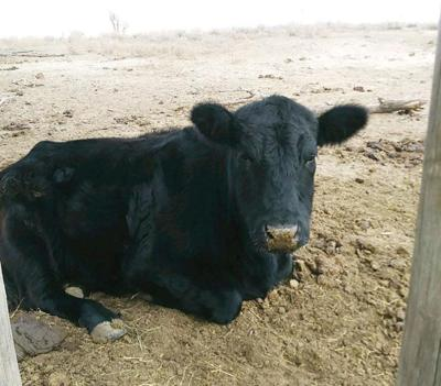 Cattle market prices could rise