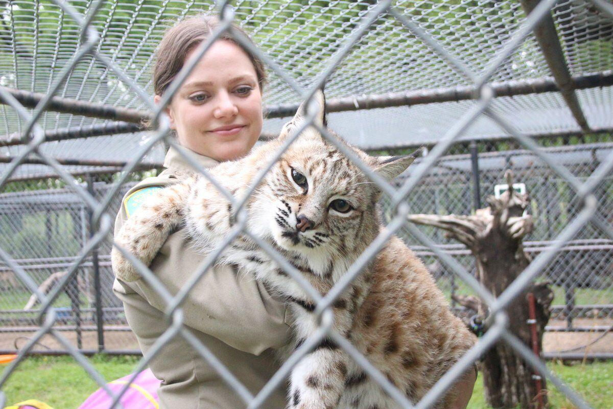 WILD THINGS: Three Forks Nature Center has two new residents: A bobcat and a fox