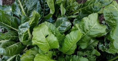5Ws+1H: How It's Done: Frigid temps bane of early-season gardeners, but there's hope