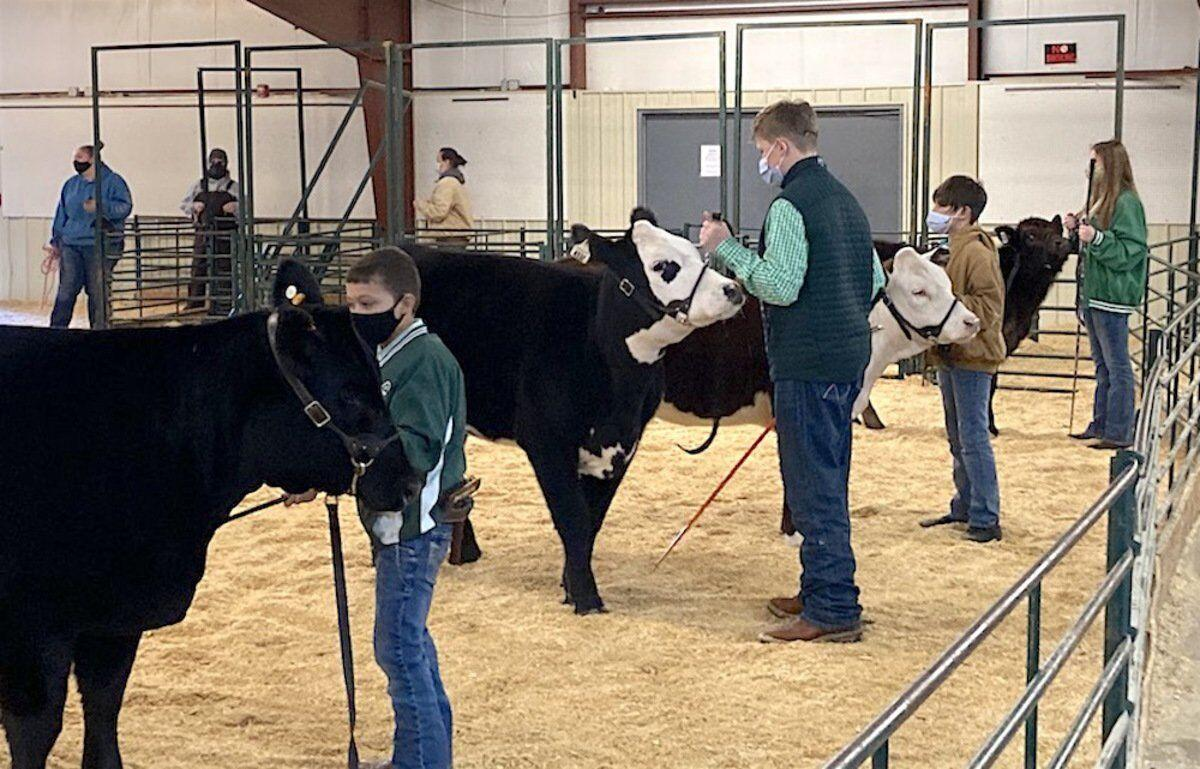 County livestock students show off the heifers and steers