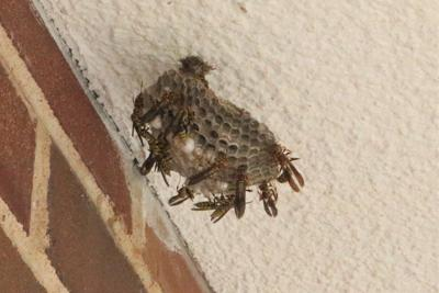 OSU Extension advises caution with stinging insects
