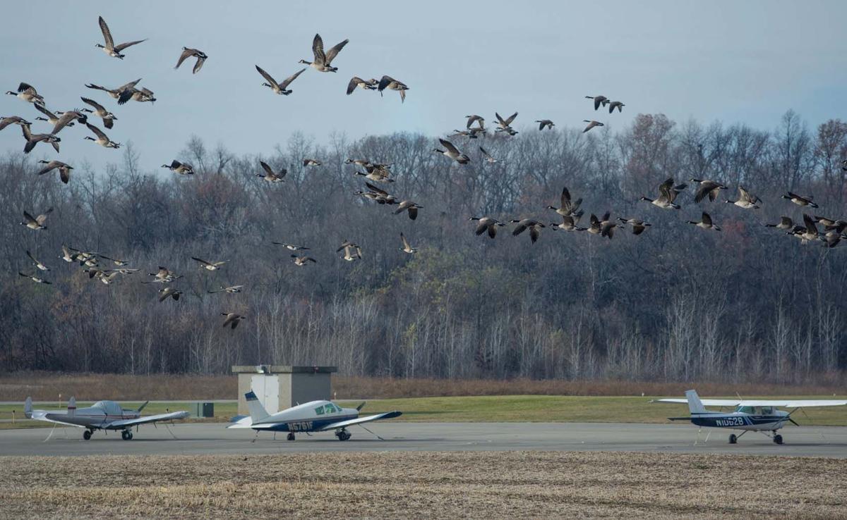 Big flocks a big problem for Price Airport   News for Fenton