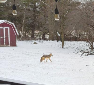 2-9_Coyote from Thressa RobbinsC.jpg