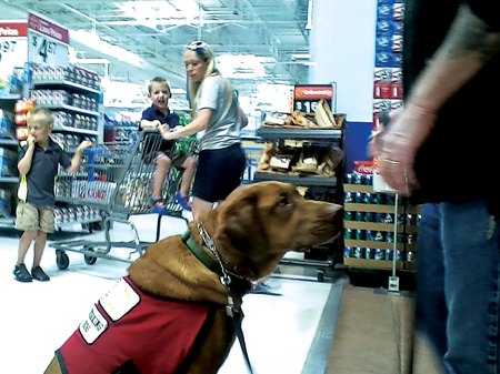 """""""Tiny,"""" a mixed-breed assistance dog follows the lead of trainer Jack Grigg Monday at the Fenton Walmart."""