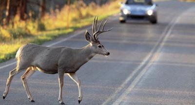 deer-crossing-road1