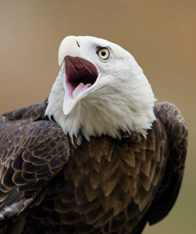 4-6 Eagle2C_Scott SchupbachC.jpg