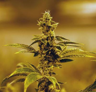 cb239a9e-d903-44d7-86d8-f3b0153e048d-XXX_Trevor_Hughes_marijuana_growing_2018_2333.JPG