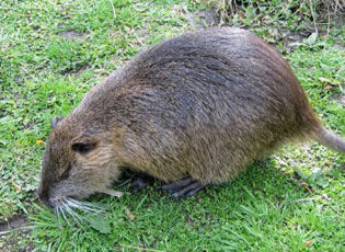 Nutria are hungry pests
