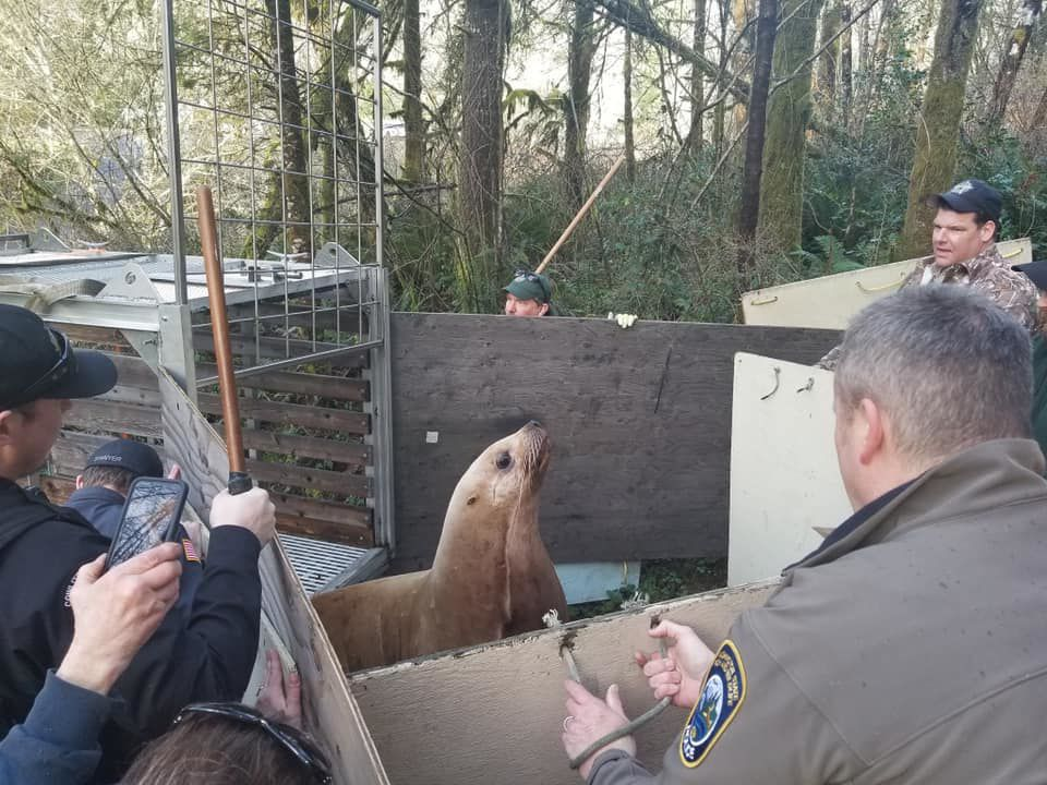 Rogue sea lion being penned in