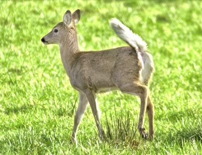 100715-lng-nws-deer