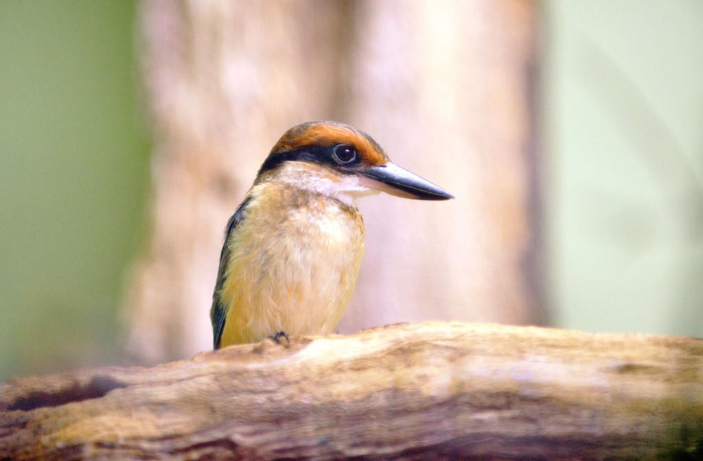 National Aviary breeds, hatches rare Guam kingfishers