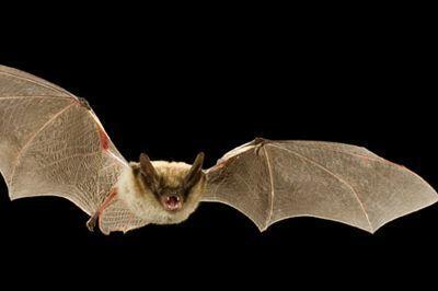 Rabid bats in Castle Rock