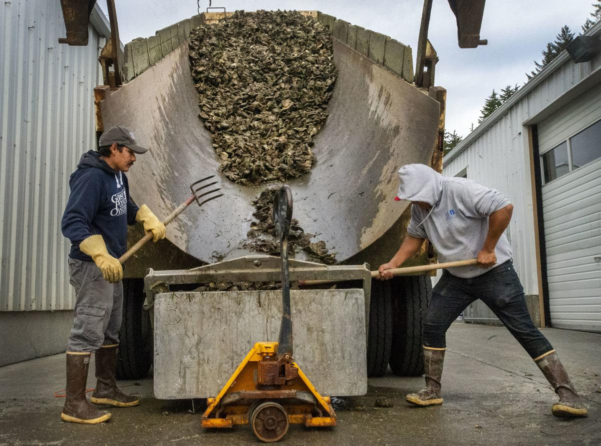 Oyster unloading