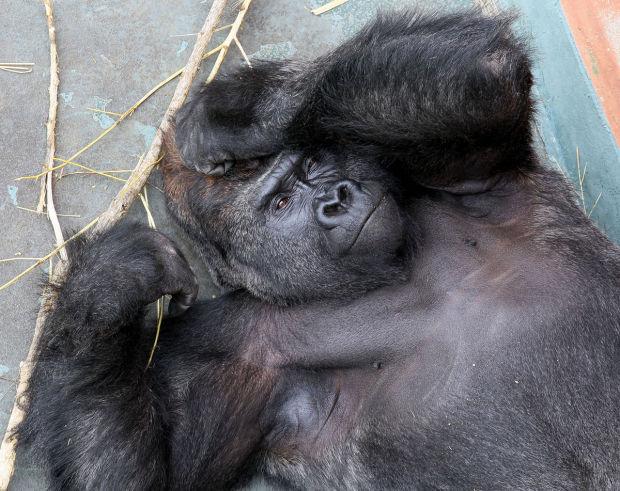 gorilla refuge