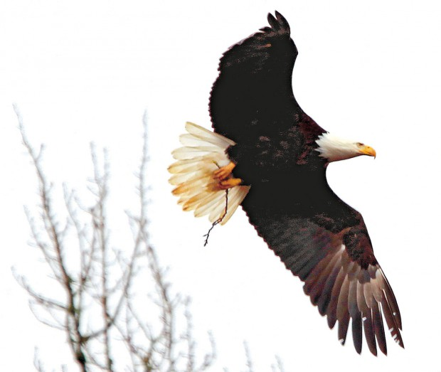 Bald eagle rebound comes with peril of increased human interaction ...
