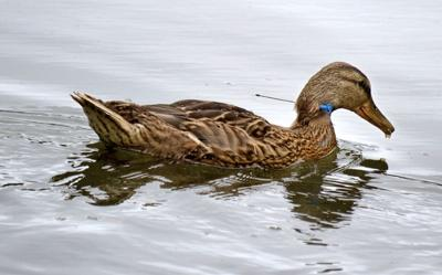 Duck With Dart