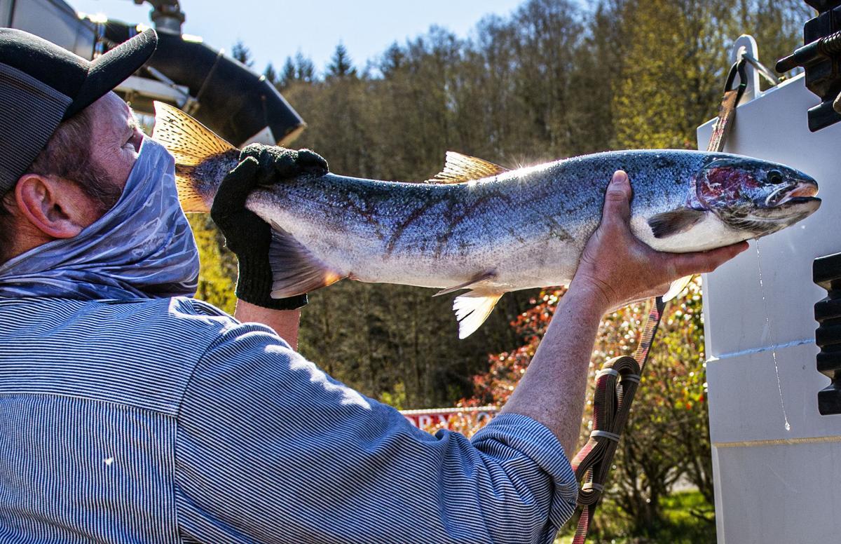 Loading salmon