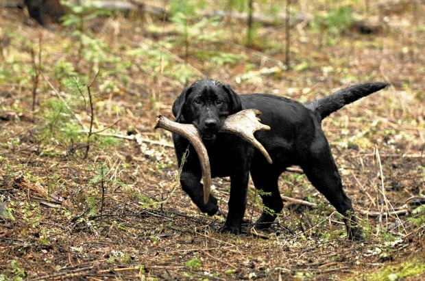 How To Train Dog To Hunt Shed Antlers