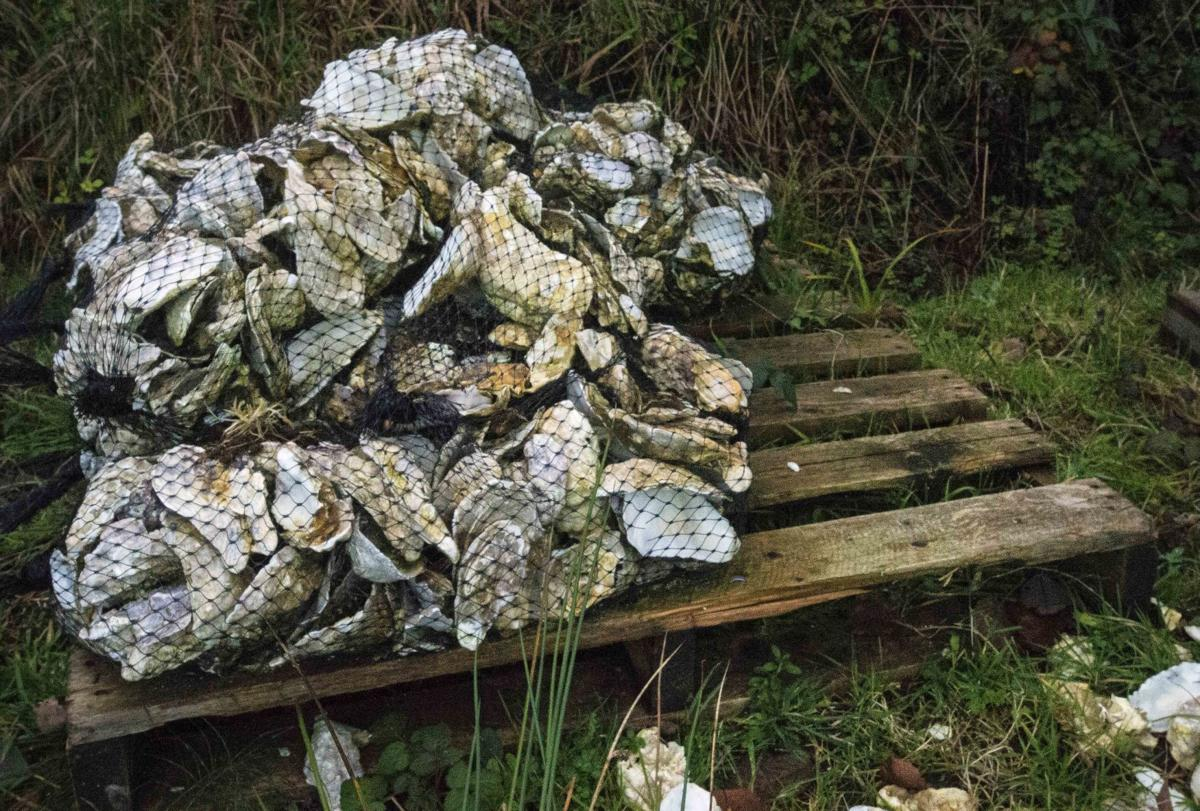 Net of oysters