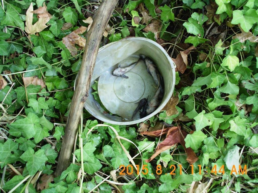 Olequa Creek fish kill