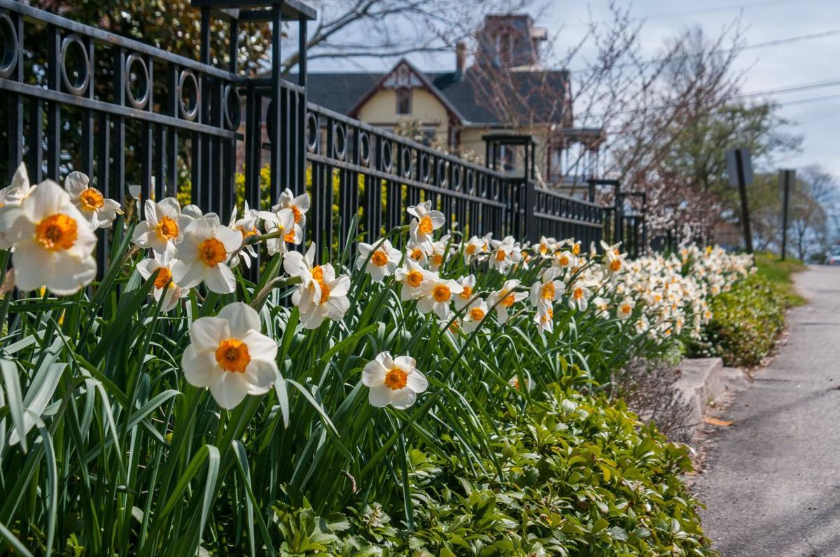 Daffodils 01