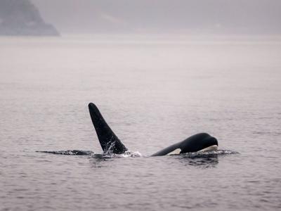 US-NEWS-ENV-ORCAS-3-SE