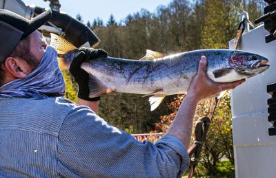 Study finds Chinook salmon are returning to rivers younger than before, re-sparking debate on fish management
