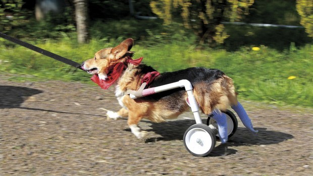 New Lease On Life bud's back: pet wheelchair gives corgi new lease on life