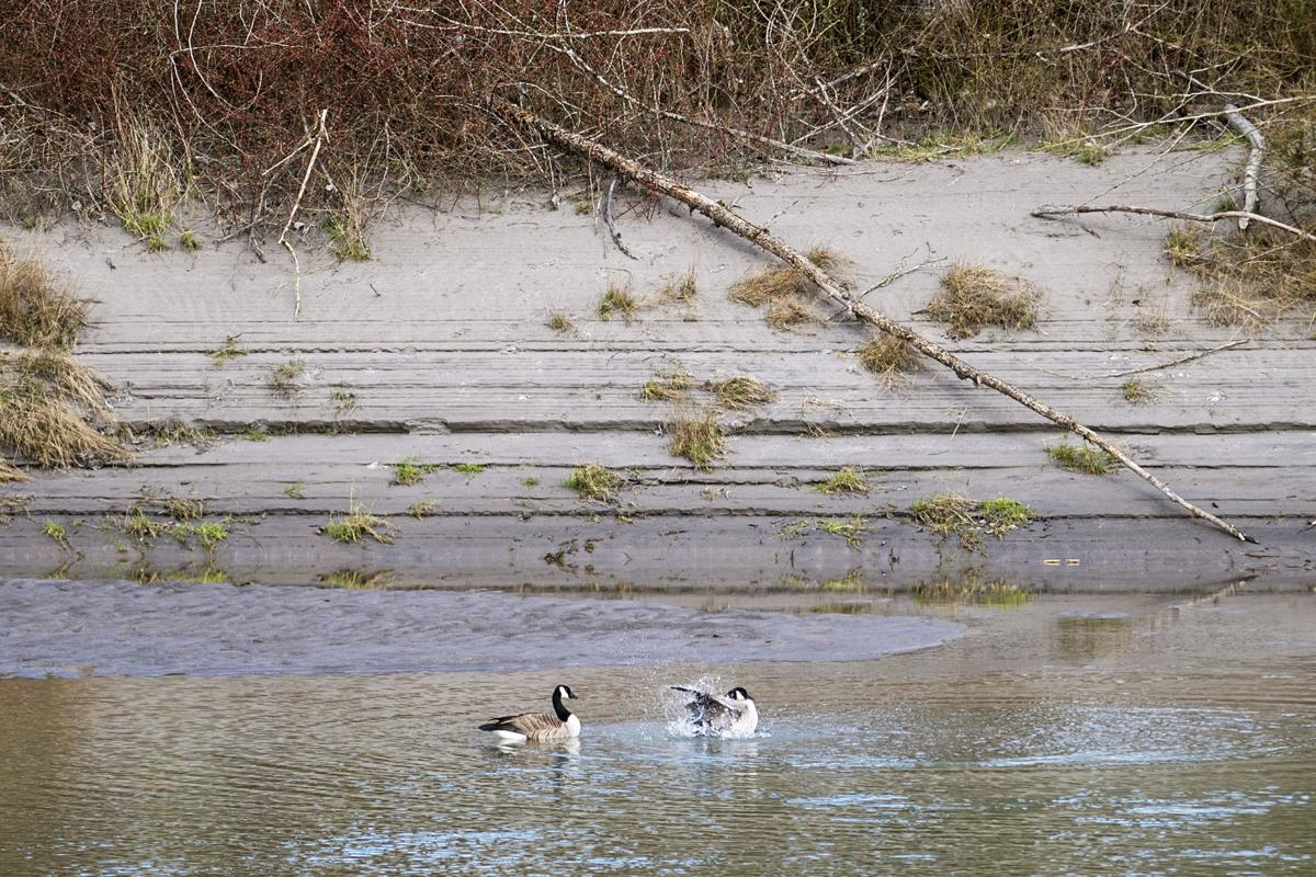 Geese in Cowlitz