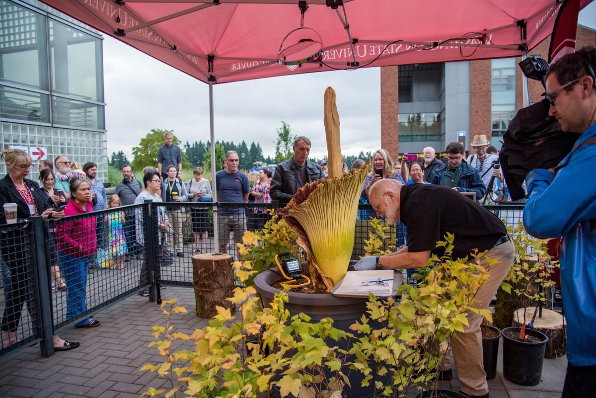 Crowds Gather To See And Smell Wsu Vancouver S Corpse Flower Northwest News Tdn Com
