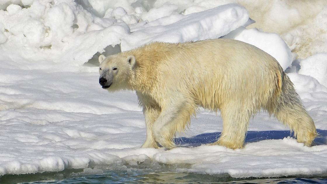polar bear ecology Full-text (pdf) | we assessed the role of size, mass, and age in mating and non-mating polar bears (ursus maritimus) at svalbard, norway, during the spring breeding season.