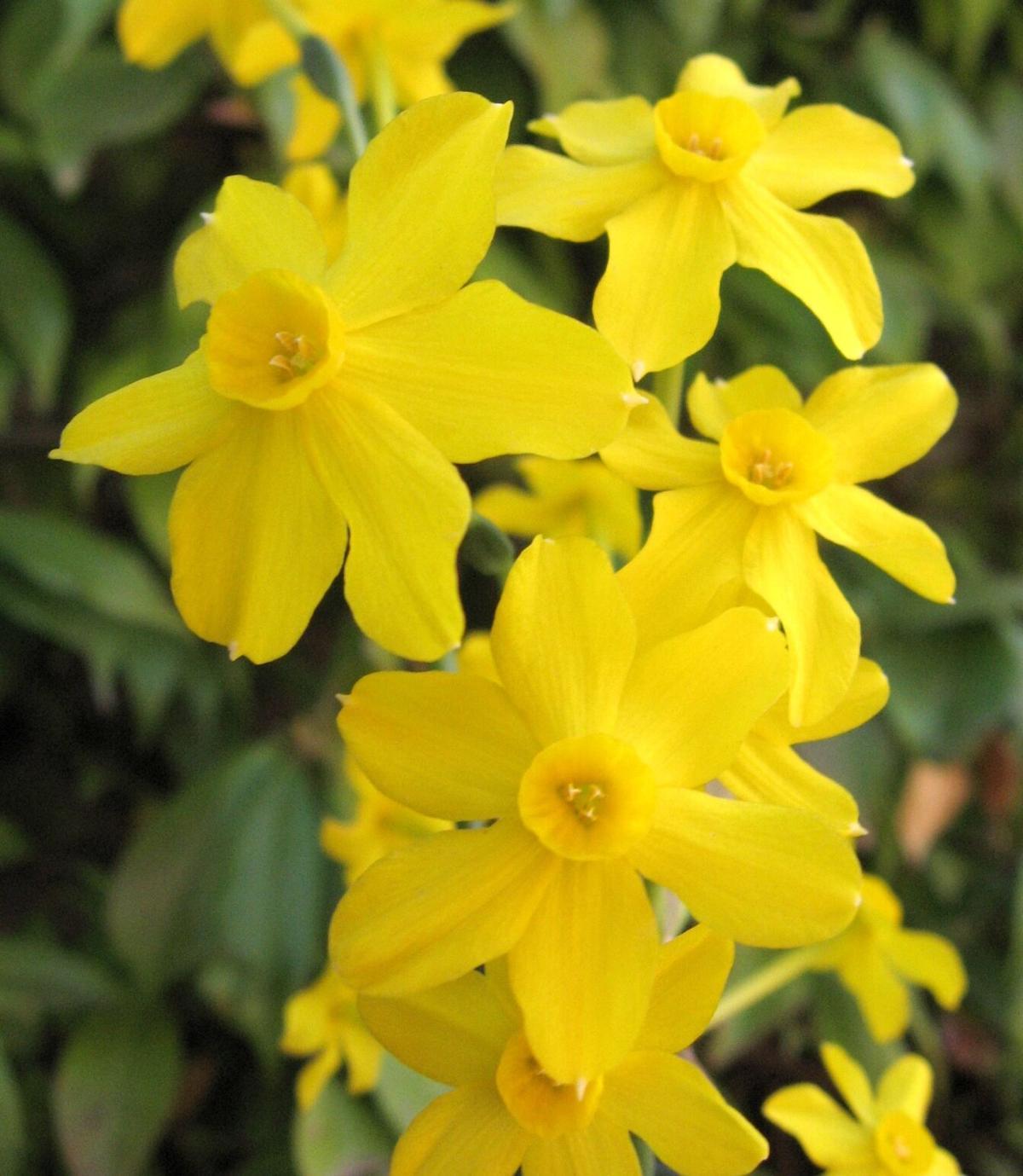 Daffodil Days returns