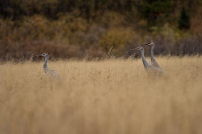 sandhill cranes in Teton