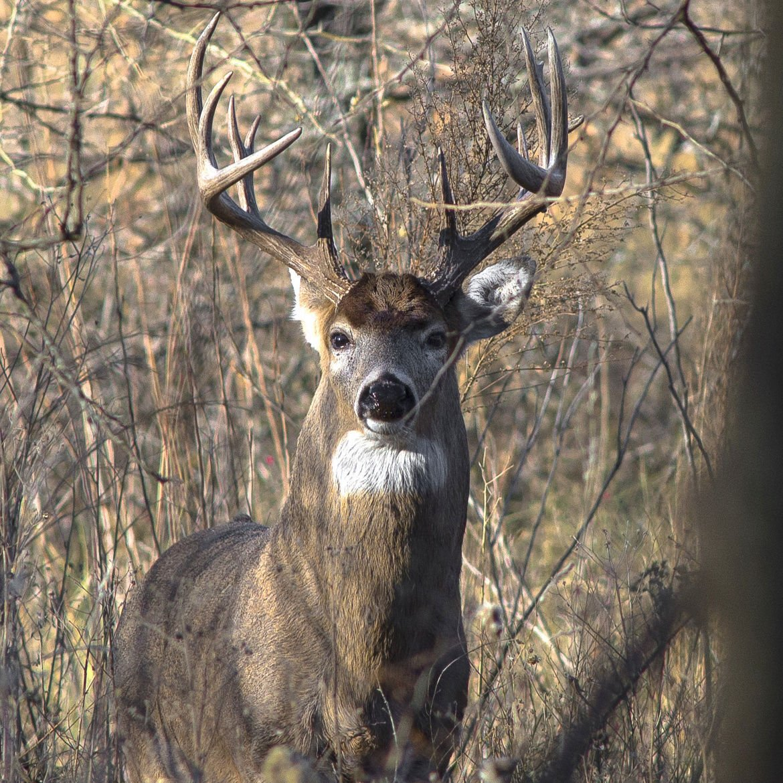 whitetail_deer.jpg