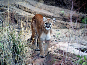 Living with mountain lions