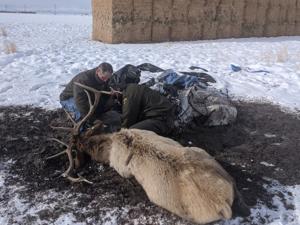 Fish and Game rescues bull elk tangled in tarp