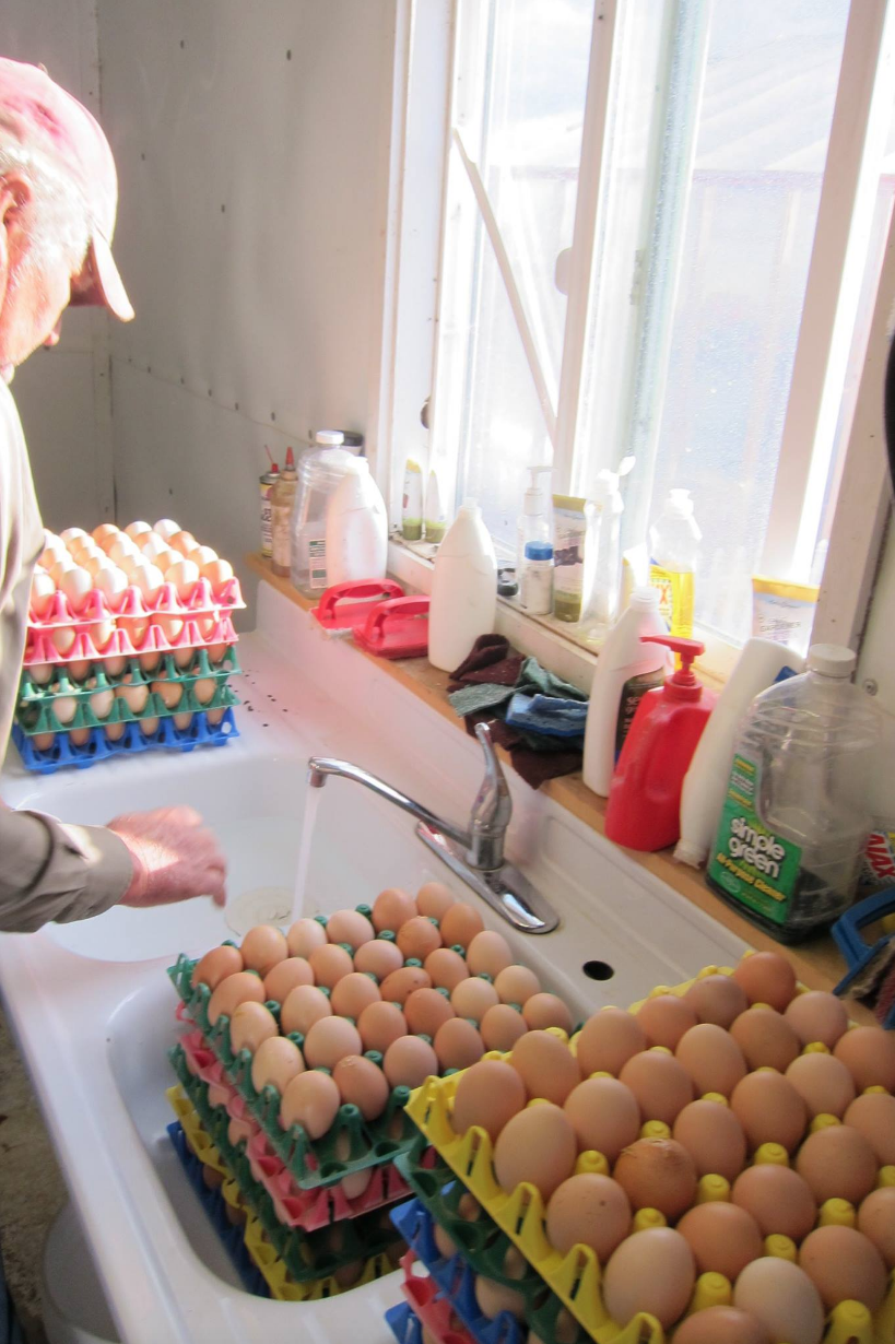 Washing chicken eggs to sell