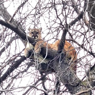 Mountain lion euthanized to protect public safety near Kimberly in southern Idaho