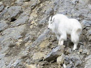 Grand Teton seeks volunteers to shoot mountain goats