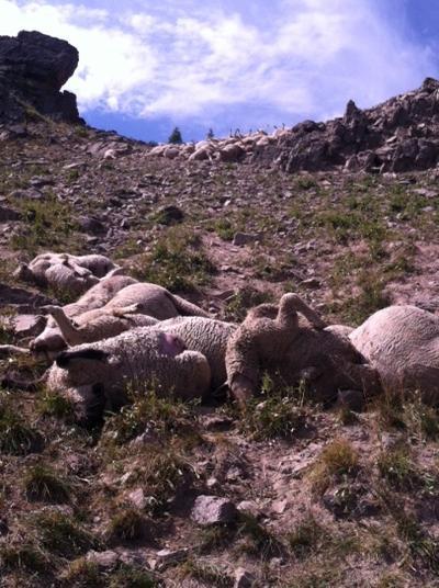 Sheep pile