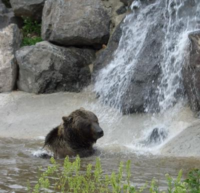 Teton the grizzly waterfall cropped.jpg