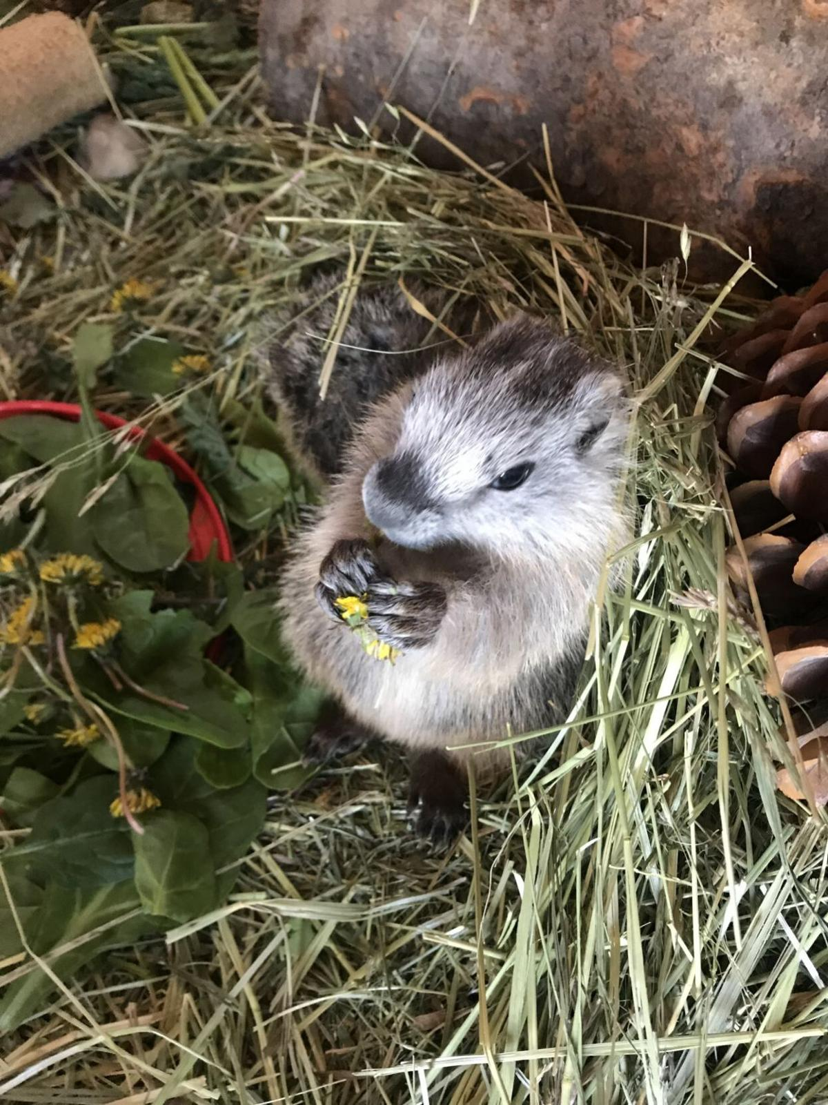 Marmot with dandelion.jpeg