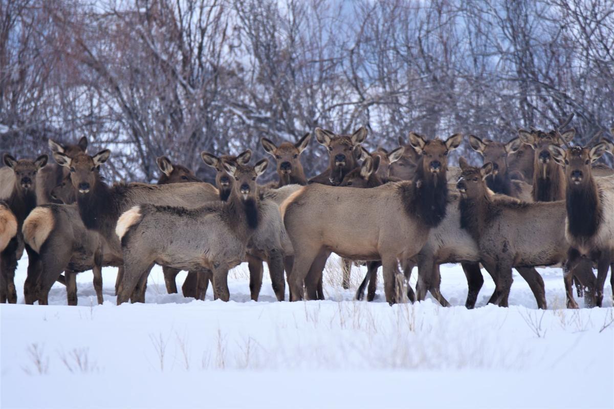 sugar city elk