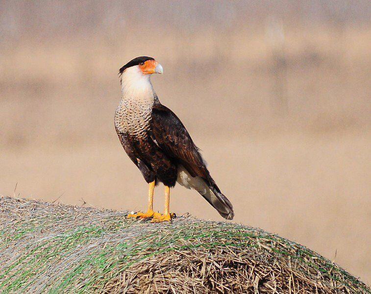 The Mexican eagle has landed ... near Tupelo!