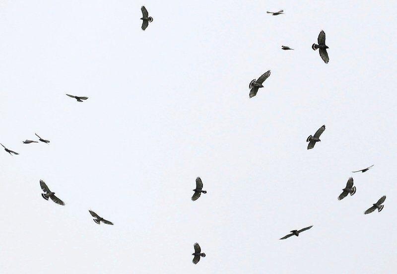 The broad-winged hawk