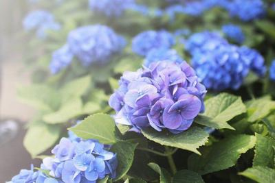 Contrary To Tradition Not All Hydrangea Flowers Can Be Changed From Pink Blue Or Vice Versa Nor The Color By Burying Pennies Coffee