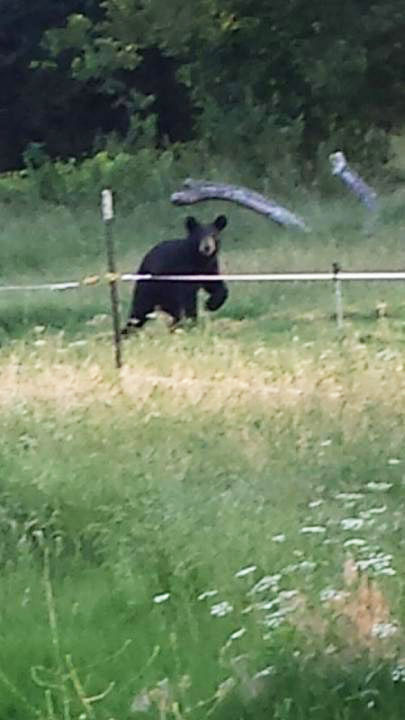 Young male black bear killed in Byng in June
