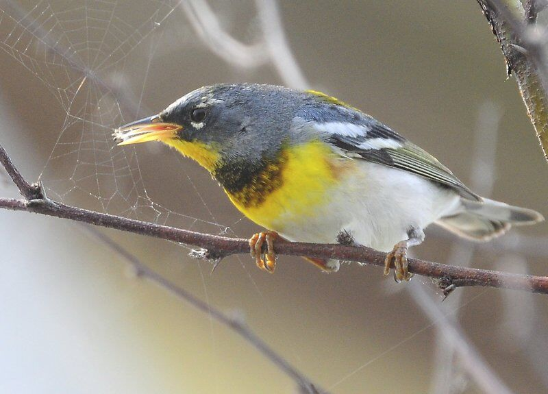 The northern parula