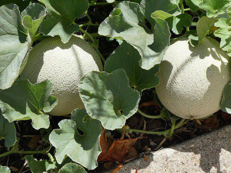 Melon sweetness tied to sun exposure